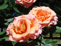 Beutiful Rose Garden Pink Orange Floral