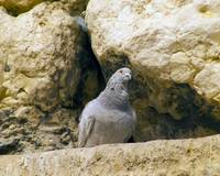 Pigeon in the Western (Wailing) Wall (Kotel)