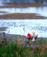 Roseate Spoonbill Hunting