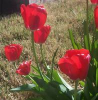 Red Tulips Grouping
