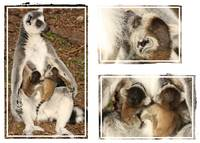 Baby lemur photo collage