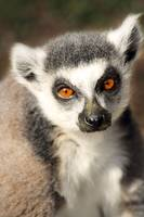 Sweet lemur face