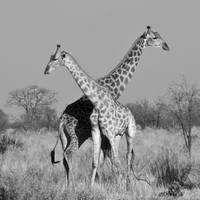 Giraffe Pair on the Okavango