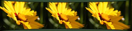Three Coreopsis Flowers Left
