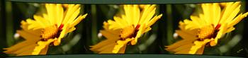 Three Coreopsis Flowers Right