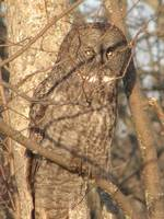 Great-Grey-Owl-Img0297