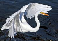 Great Egret ready