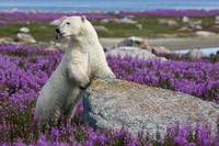 Hungry Polar Bear in Fireweed
