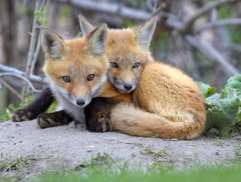 Fox Cubs Cuddling By Daniel H 233 Bert
