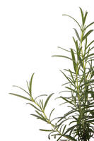 Fresh and healthy rosemary.