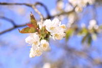 Blossoming twig of cherry-tree.