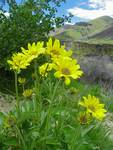 Wildflower - Arrowleaf Balsamroot - Floral