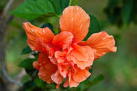 Orange Double Blossoming Hibiscus