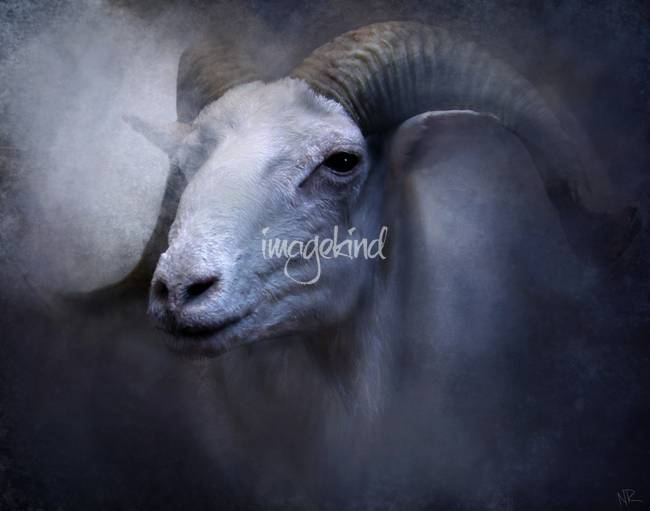 Dall Sheep Portrait