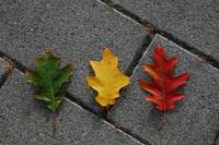 Stoplight leaves