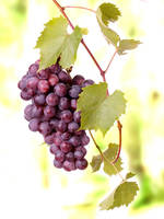 Red grape cluster.