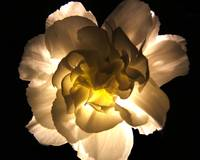 Illuminated White Carnation