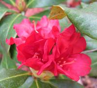 Trio of Rhododendron Flowers