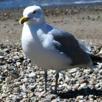 Maine Seagull Art Prints & Posters by Angele Rice