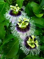 Trio of Passiflora Blossoms