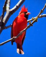 A  Red Male Northern Cardinal and a  Blue sky.