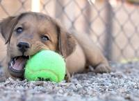 Cocoa Eating A Tennis Ball @ 8 weeks