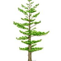 Eastern White Pine (Pinus strobus) Art Prints & Posters by Tamara Clark