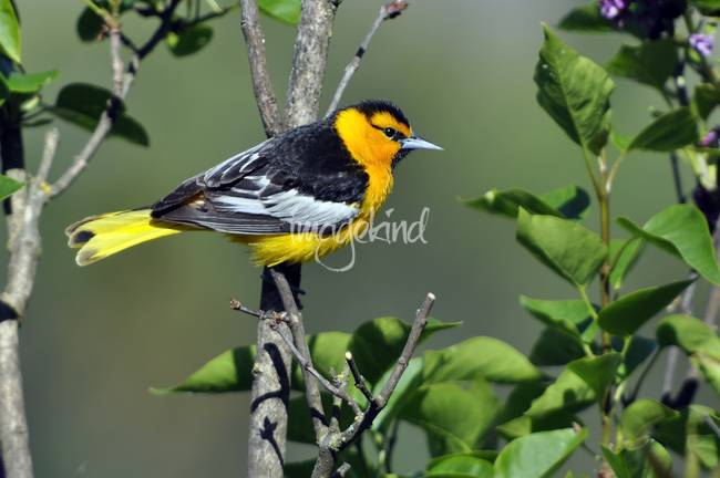 Bullock's Oriole Framed with Lilac