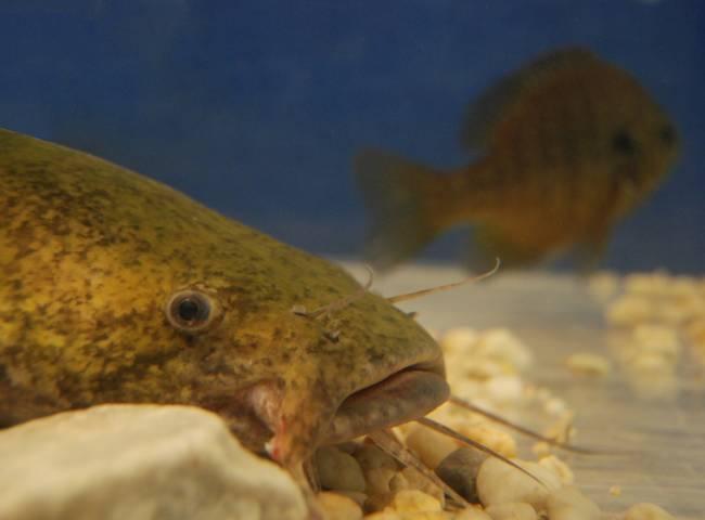 Flathead Catfish And Sunfish By Bryan Sirotkin