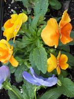 orange and purple impatiens