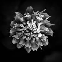 Clover In Black And White