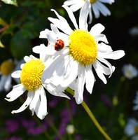 June Daisies with Ladybug