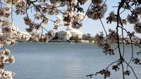 Jefferson Memorial with Cherry Blossoms
