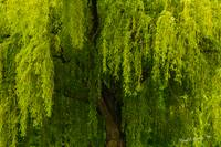 Enchanting Weeping Willow Tree Meditation Wall Art