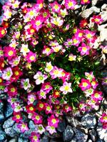Saxifraga Highlander In Pink