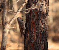 Common Flicker Red Race 8958