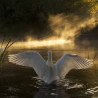 Rising Swan Art Prints & Posters by Jason Wickens