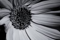Daisy in Monochrome