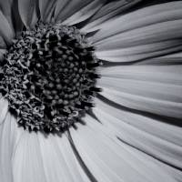 Daisy in Monochrome Art Prints & Posters by Karen Tobler
