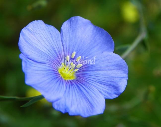 Wildflower - Blue Flax - Outdoors Floral