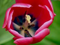 Tulip Bloom