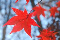 Red Leaf, Blue Sky on a Branch
