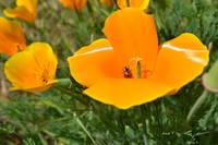 Poppies and a Ladybug
