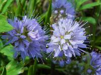 Botanical - Ballhead Waterleaf - Outdoors Floral