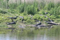 Alligator Convention