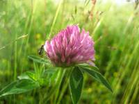 Red Clover Flower and Ant