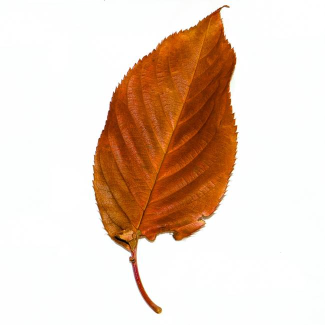 single brown leaf by chris barry