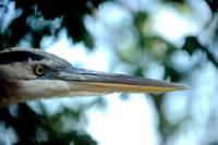 Blue heron beak