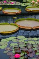 Water Lilies And Platters 2