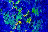 Blue Maples